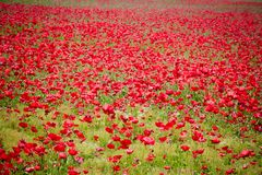 Flower meadow of red poppies Stock Photo