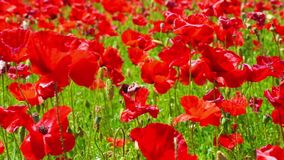 Flower meadow of red poppies in windy day, farmland, countryside stock video