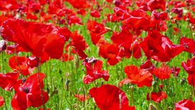 Flower meadow of red poppies in windy day, farmland, countryside, rural background stock video