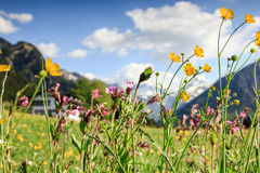 Flower meadow and snow covered mountains. Beautiful flower meadow and snow covered mountains in the background Stock Photo