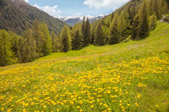 Flower meadow in South Tyrol Stock Photos