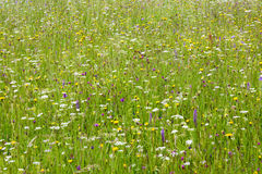 Flower meadow at spring Stock Images