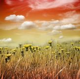 Flower meadow in sunset royalty free stock image