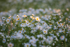 Flower meadow Royalty Free Stock Photography