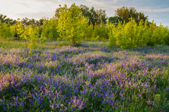 Flower meadow in the woods. Beautiful clearing in the woods with blue flowers stock photography