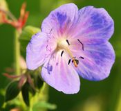 Flower of medadow cranesbill Royalty Free Stock Image