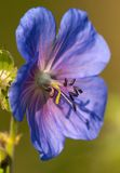 Flower of medadow cranesbill Stock Photo