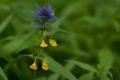 Flower melampyrum in a summer field. Bright unusual flower melampyrum blooming in a summer field or in a meadow stock photos