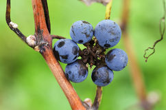 Flower of Merlot grapes on a vine. Selective focus royalty free stock images