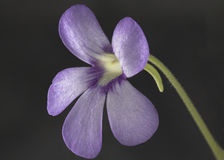 Flower of Mexican Pinguicula. Macro Shot of Mexican Pinguicula Flower Stock Photo