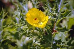 flower mexican poppy Στοκ εικόνες με δικαίωμα ελεύθερης χρήσης