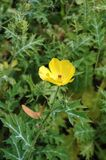 flower mexican poppy Στοκ Εικόνες