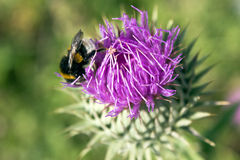 Flower of milk thistle with bee Stock Photography