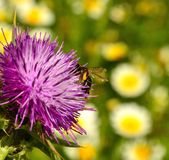 Flowerhead of milk thistle with bee collecting pollen Royalty Free Stock Image