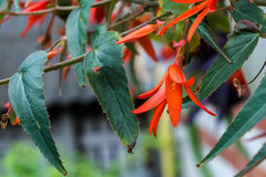 Bright orange begonia flower Royalty Free Stock Images