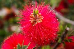 Flower Mimosa Pudica Stock Photo