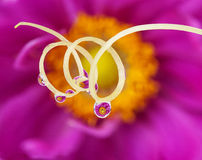 Flower mirroring in rain drops. Pink flower mirroring in rain drops Royalty Free Stock Images
