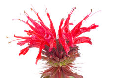 Flower of Monarda Stock Photo