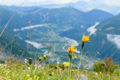 Flower at Mont Blanc Stock Images