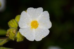 Flower of Montpellier cistus covered with dew drops. Flower of Montpellier cistus Cistus monspeliensis covered with dew drops. Integral Natural Reserve of Inagua stock photography