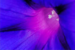 Flower of a morning glory Royalty Free Stock Images