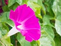 Flower of morning glory Stock Photos
