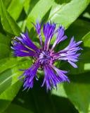 Flower of Mountain cornflower or Centaurea montana macro, selective focus, shallow DOF.  Royalty Free Stock Photos