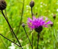 Flower of Centaurea montana Stock Images