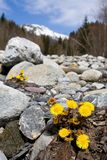 Flower and mountains. Breathtaking Snowy mountains landscape with yellow flowers Stock Photography