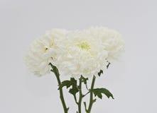 Flower mum cluster. A pair of mums Chrysanthemum morifolium Royalty Free Stock Photos