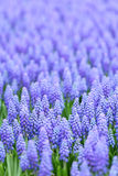 Flower, muscari botryoides Stock Photography
