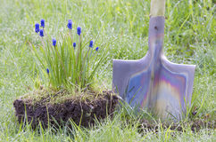 Flower Muscari shovel rain Stock Photos
