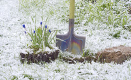 Flower Muscari shovel snow Royalty Free Stock Photo