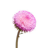 Flower of a musk thistle isolated on white Stock Photo