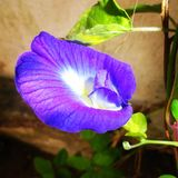 Flower in my garden. Blue flower macro shot royalty free stock photo