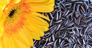Flower n Seeds. A bright yellow sun flower resting on a bed of sunflower seeds Stock Photos