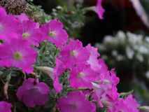 Thai Pink petunia. Flower name pink petunia very favorite and have good mean Motherly Love, , Femininity, Gentleness, Compassion Royalty Free Stock Images