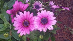 Flower_Nanjing pink royalty free stock image