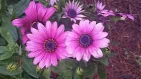 Flower_Nanjing rosa färger royaltyfri bild