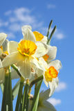 Flower Narcissus Royalty Free Stock Image