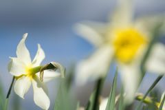 Flower narcissus. With focus at left bud and another blurred at foreground Stock Photography