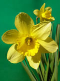 Flower a narcissus. Flower Stock Photography