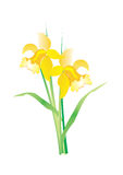 Flower Narcissus. A vector illustration of yellow flower Royalty Free Stock Photography