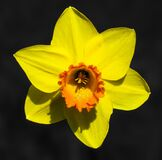Flower, Narcissus, Blossom, Bloom Royalty Free Stock Photos