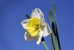 Flower Narcissus Stock Photography