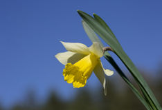 Flower Narcissus Stock Photos