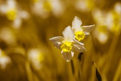 Flower Narcissus in the flower bed royalty free stock photos