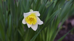Flower narcissus in green grass stock video footage