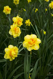 Flower, Narcissus Royalty Free Stock Image