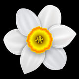 Flower narcissus illustration Stock Photography